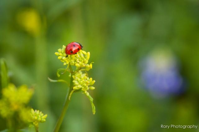 2_Rory Photography_Ladybug In Bluebonnets-1